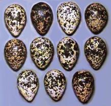 Варианты окраски яиц