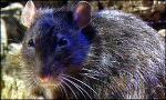 Геном крысы