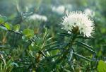 Ledum palustre - Багульник болотный