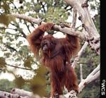 Спасти орангутангов