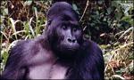 Коммуникации по-обезьяньи