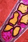 Мышцы крови и кровь мышц