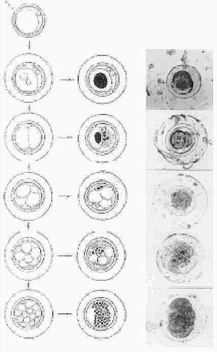 fragmentatsii-dnk-v-spermatozoidah