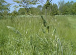 Биотехнология решит проблему сенной лихорадки