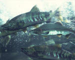 Рыба в воде не мерзнет!