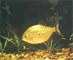 Флюоресцентная рыбка
