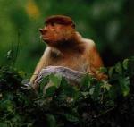 Так много диких обезьян!
