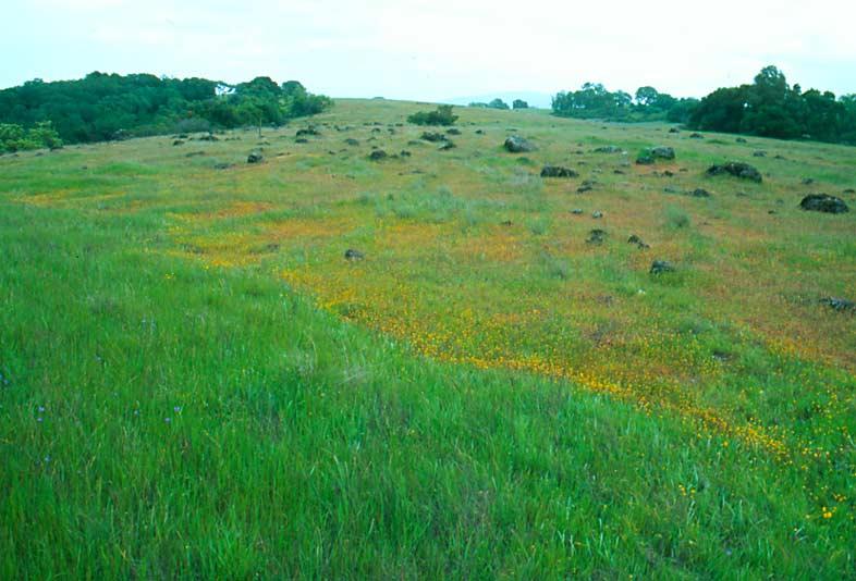 граница между серпентинитами и яшмами, проводится по резкому окончания цветущего поля