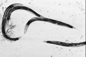 С. elegans