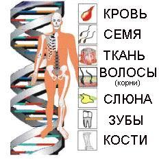 Днк дактилоскопия